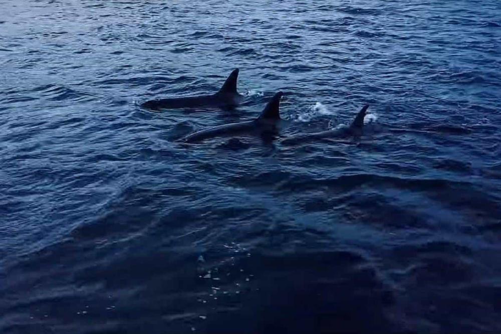 Orcas Norwegen