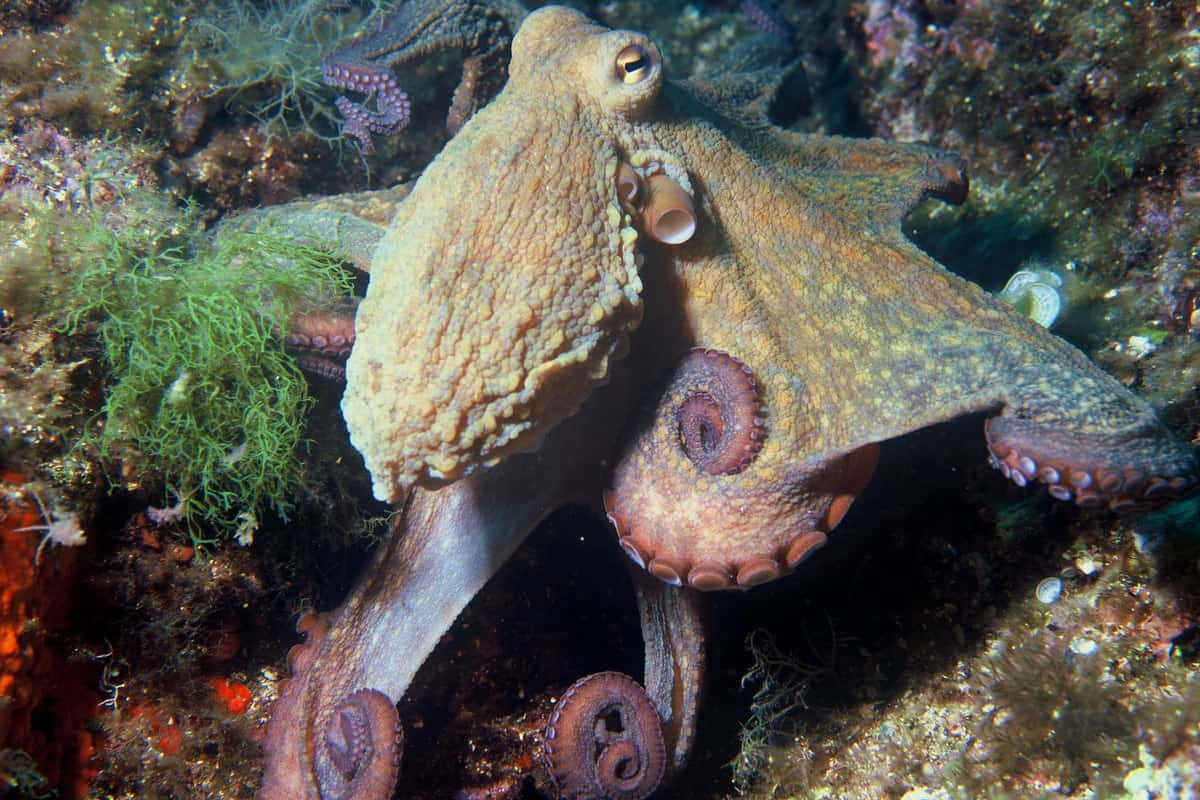 Oktopus vulgaris