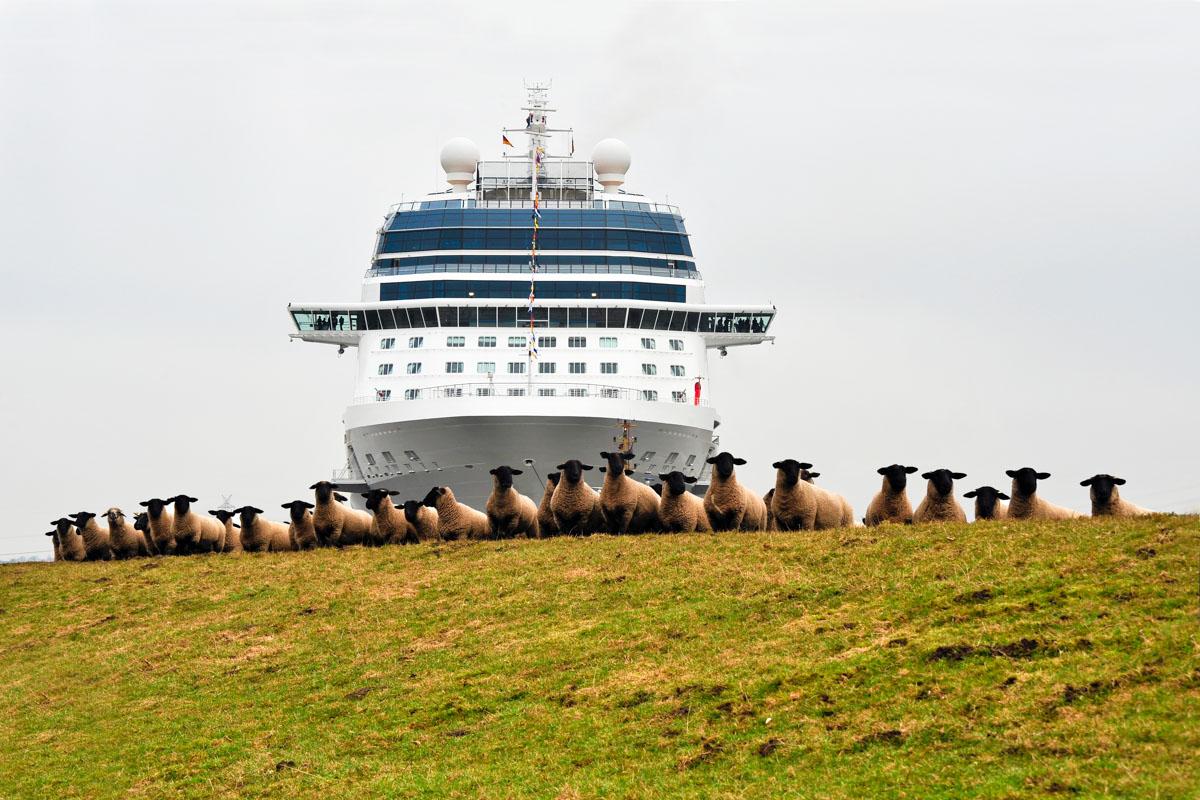 Schafe auf dem Emsdeich, dahinter ein Meyer-Neubau