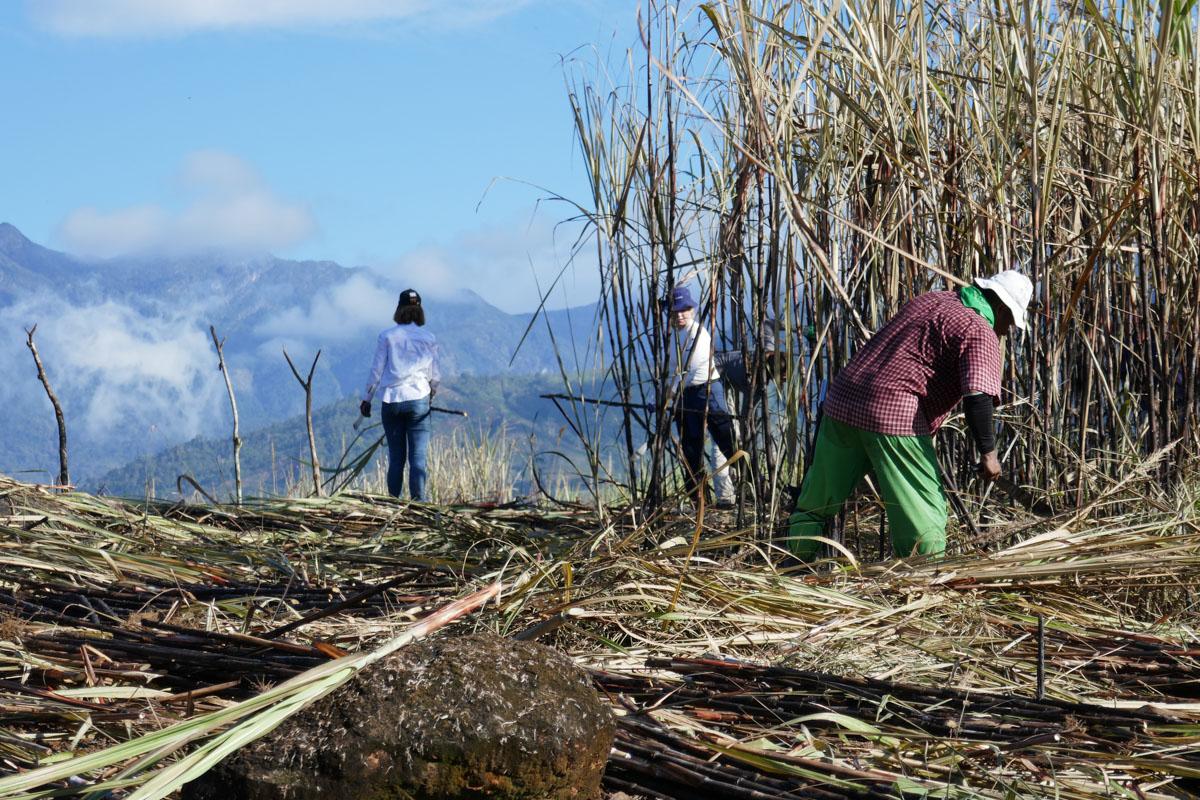 Zuckerrohrernte auf Costa Rica